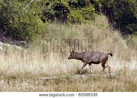 Sambar Deer In Nepal, Bardia national park