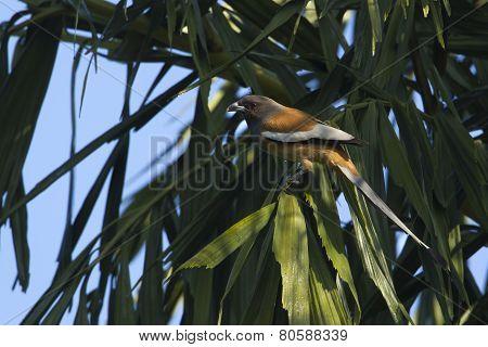 Rufous Treepie Bird In Nepal