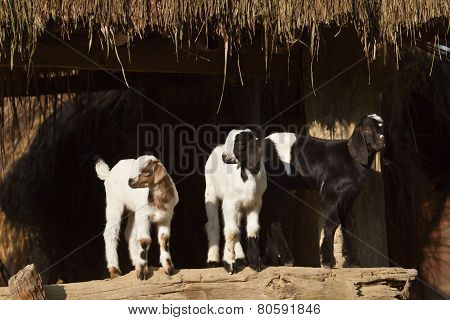 domestic young goats, Nepal