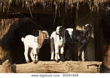 domestic young goats in tharu farm, Nepal