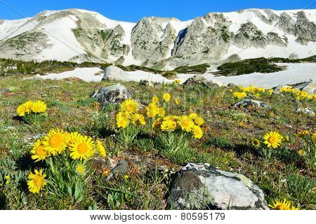 Alpine Meadow With Closeup Wild Flowers In Snowy Range Mountains, Wyoming