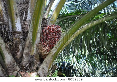 Close up of palm oil