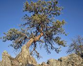 pic of collins  - twisted pine tree in Rocky Mountains at Gateway Natural Area near Fort Collins - JPG