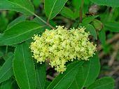 foto of elderberry  - Sambucus  - JPG