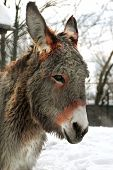 stock photo of donkey  - The head of a donkey in winter - JPG