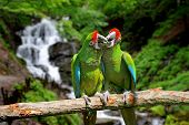 image of parrots  - Green Parrot (Severe Macaw) against tropical waterfall background ** Note: Shallow depth of field - JPG