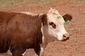 stock photo of hereford  - closeup of a hereford cow in paddock - JPG
