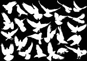 pic of pigeon  - illustration with pigeon silhouettes isolated on black background - JPG