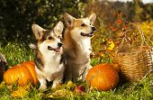 image of corgi  - Welsh Corgi Pembroke dog and pumpkin - JPG