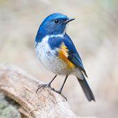 foto of robin bird  - Blue bird male Himalayan Bluetail  - JPG
