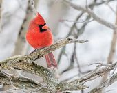 image of cardinal-bird  - A Male Cardinal perched on a tree branch - JPG
