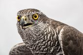 pic of merlin  - Brown hawk portrait isolated on white background - JPG