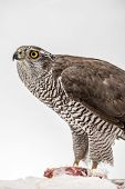 image of merlin  - Hawk hunting a white pigeon on white background - JPG