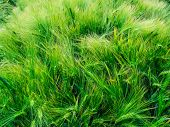 stock photo of awning  - Green barley awns in June  - JPG