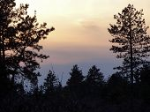 stock photo of pine-needle  - Pine trees and their needles area silhouetted against the pastels of a sky at dusk - JPG