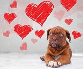 stock photo of sweethearts  - cute dog de bordeaux puppy looking up to heart shapes for valentine - JPG