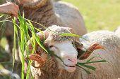 picture of eat grass  - merino sheep eating ruzi grass in live stock farm  - JPG