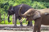foto of indian elephant  - Indian Elephants walking in the Zoo - JPG