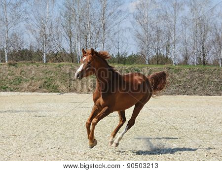 Purebred Arabian Horse In Motion