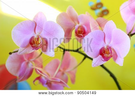 Pink Orchid Blossoming