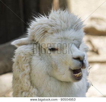 Alpaca Llama Pacos