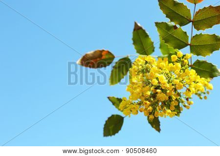 Beautiful green twig with yellow flowers on blue sky background