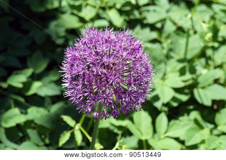Allium Flower in Bloom