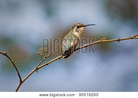 Close up shot of small hummingbird sitting on a tree branch. Manabi, Ecuador