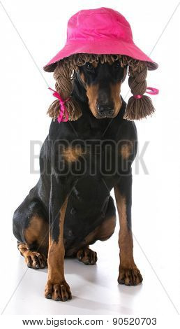 female dog - doberman pinscher wearing silly wig and hat on white background
