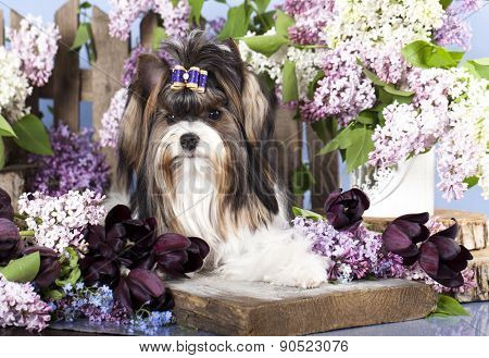 Beaver Yorkshire Terrier and flowers