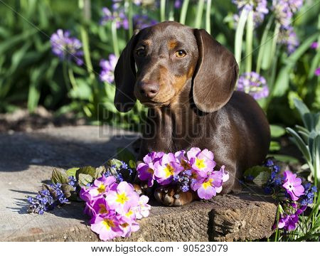 puppy dachshund chocolate color