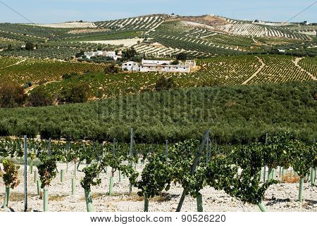 Vineyards and olive groves, Montilla.