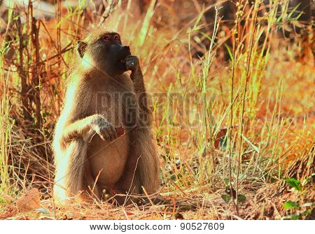 An isolated baboon sitting in the bush