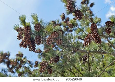 Cedar pine branches with cones.