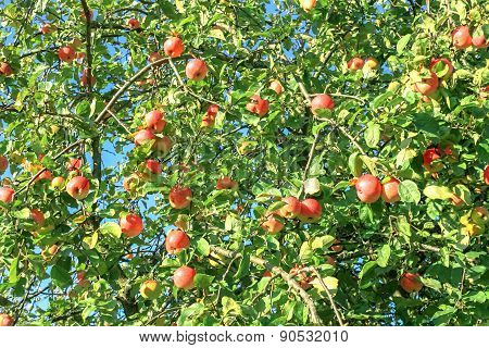 Crop Of Red  Apples On An Apple-tree