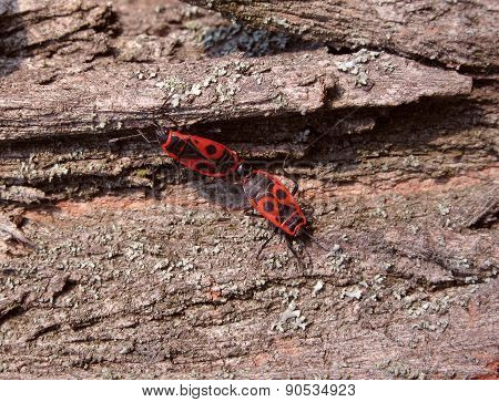 Two Fire Bugs On Bark