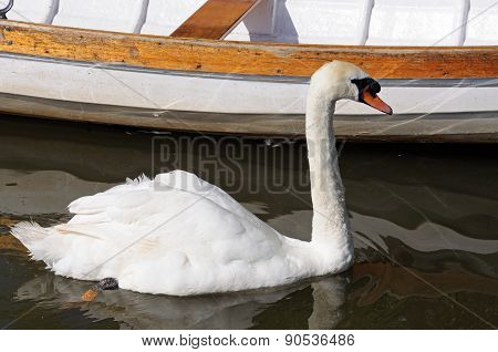 White mute swan.