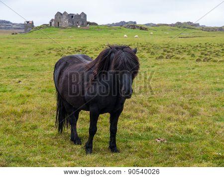 Black icelandic horse