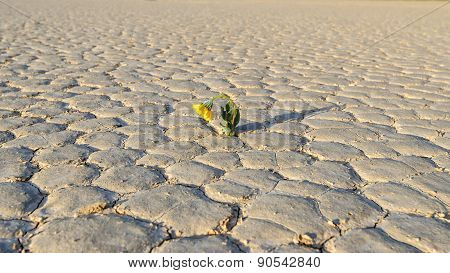 Yellow flower growing out of cracks in the desert