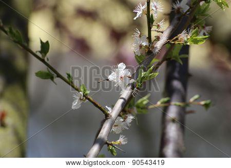 Cherry Plum Blossoms