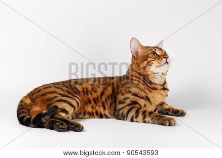 Bengal Cat on White background and Looking up