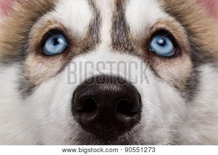 Closeup Blue Eyes Siberian Husky Puppy