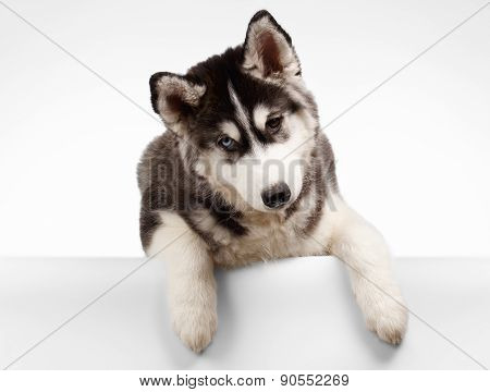 Siberian Husky Puppy Curious Looking on White