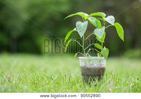 New shoots of pepper in a plastic cup