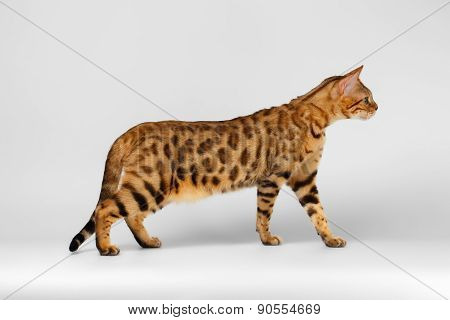 Bengal Cat walking on White background