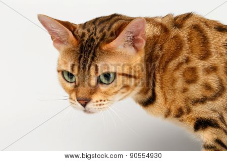 Close-up Bengal Cat Looking Angry on White