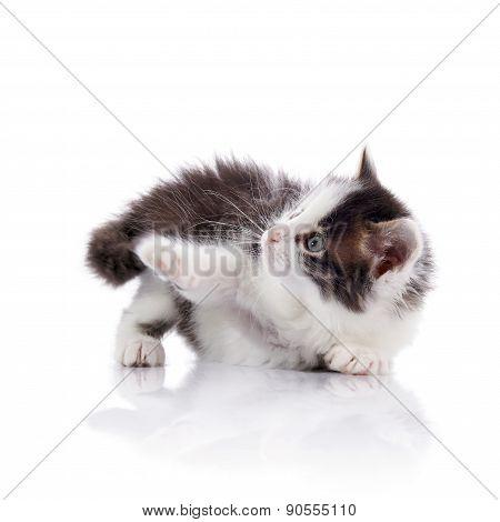 Amusing Spotty Domestic Kitten.