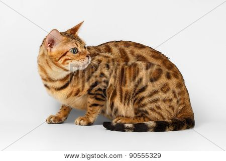 Bengal Cat Looking Back on White