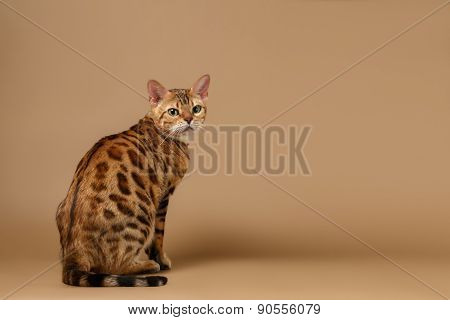 Bengal Cat turned Back on Brown background