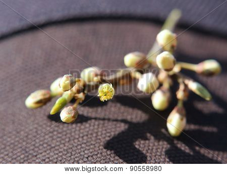 Blackthorn Buds